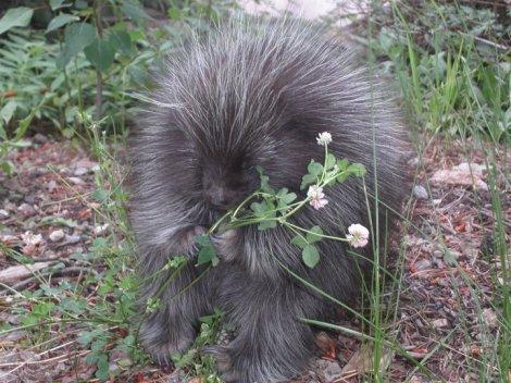 porcupine in back yard6_32163823_316691_n